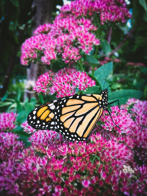 male monarch on pink flowers